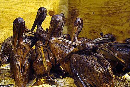 Heavily oiled pelicans after the Gult oil spill