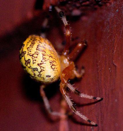 spider - marbled