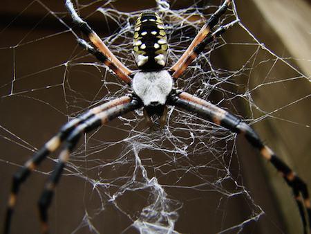 spider - black orange