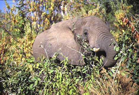 Elephant – Zimbabwe