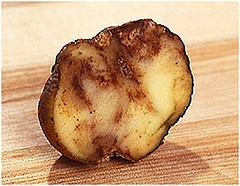 Blight potato