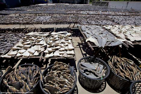 Rows of shark fins drying