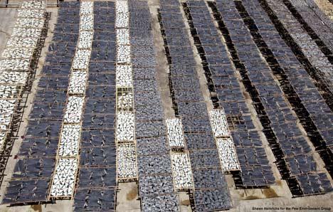 Vast rows of shark fins
