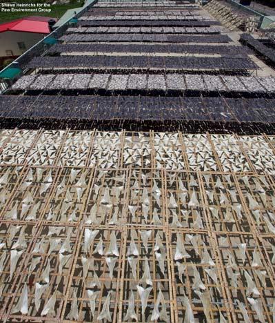Row upon row of dead sharks