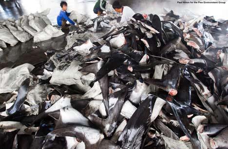 Pile of dead sharks