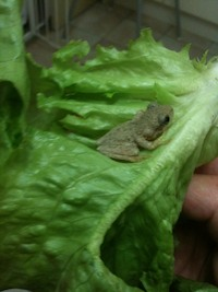 Tree frog found in a lettuce leaf