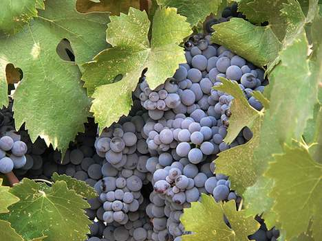 Californian wine grapes