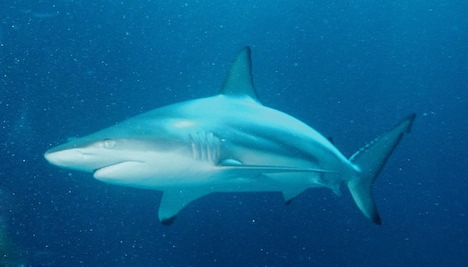 Blacktip shark