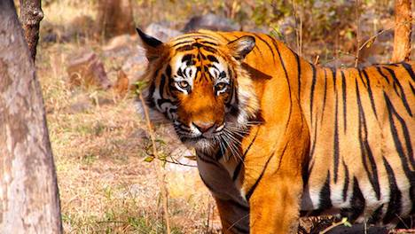 Tiger in Ranthambore National Park - India