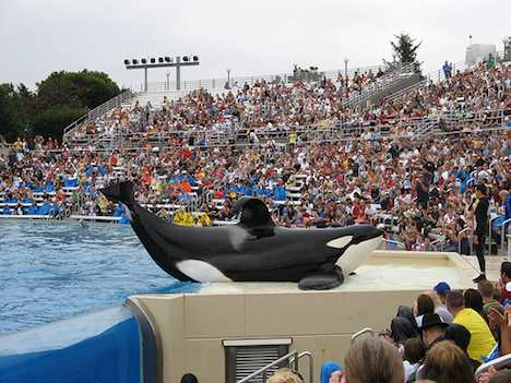 orca at SeaWorld