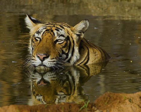 Tiger – India