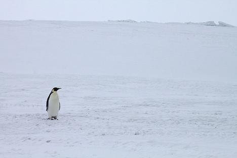 Emperor penguin – Antarctica