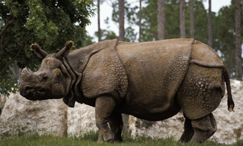 Endangered Indian greater one-horned rhino