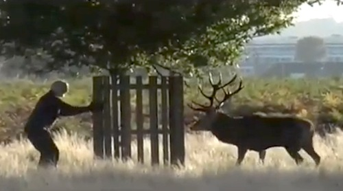 Man chased by rutting stag
