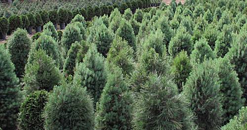 Living Christmas trees