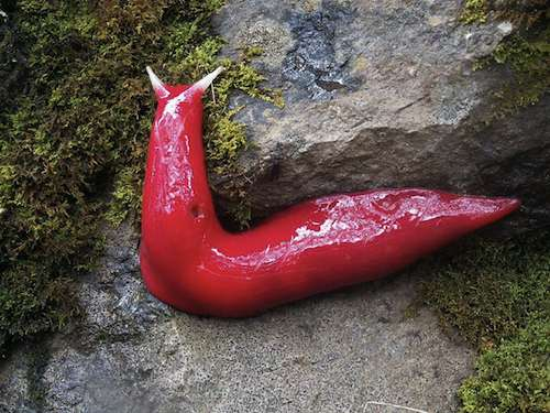 Giant pink slug found in Australia