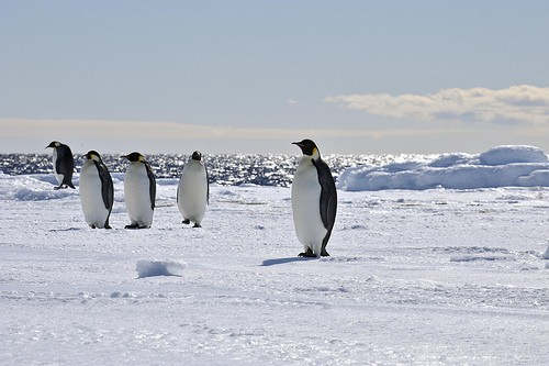 Penguins, Ross Sea, Antarctica
