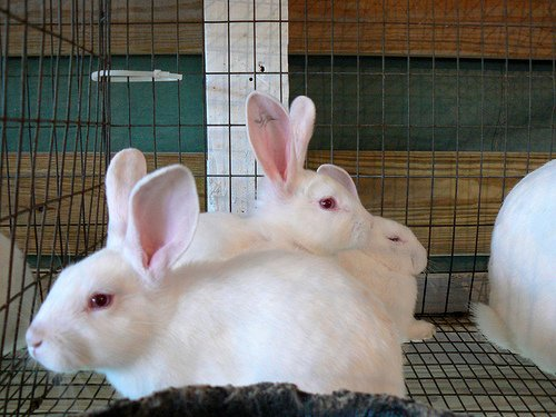 Caged white rabbits